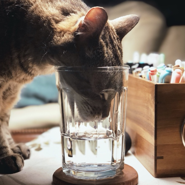 Cat drinks water
